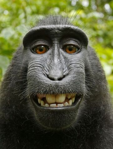 File:Macaca nigra self portrait.jpg
