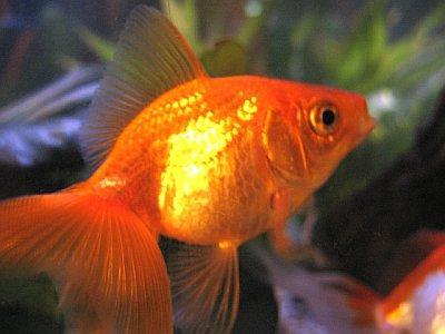 Goldfish wiki acuariofilia fandom powered by wikia for Pez cuchillo cristal