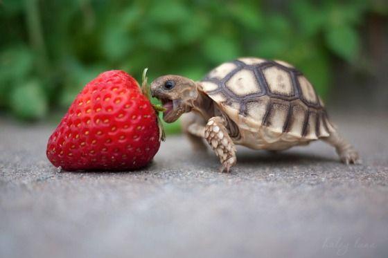 File:Lol turtle om nom nom.jpg