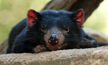 File:Tasmanian-Devil-006.jpg