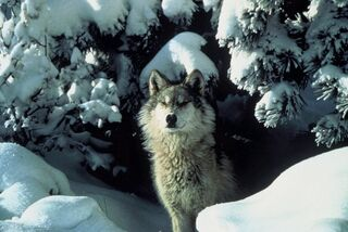 Wolf standing in snow