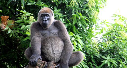 File:Gorilla gorilla diehli.jpg