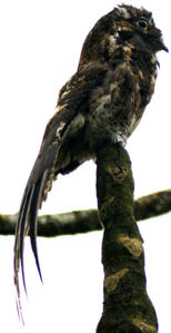 Andean Potoo in daylight
