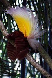 Paradisaea apoda -Bali Bird Park-7