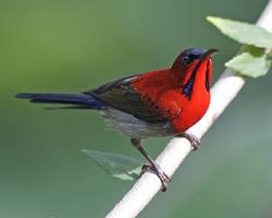 Crimson Sunbird (Aethopyga siparaja) male.png