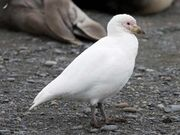 Chionis blanc - Pale-faced Sheathbill