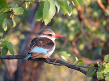 Brown-hooded Kingfisher.png