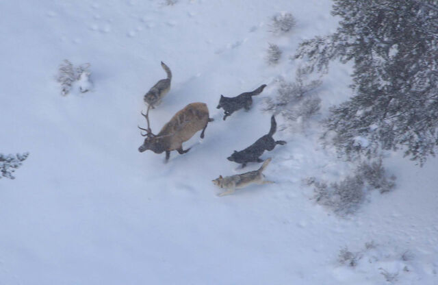 File:Wolves-hunting-an-elk2-1-.jpg