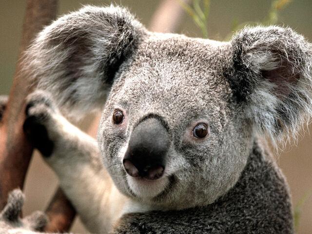 File:Koala.jpg