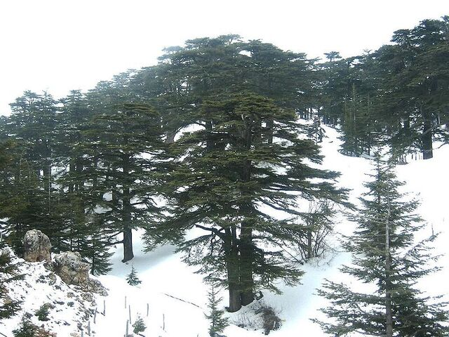 File:800px-Forest of The cedars of God.jpg