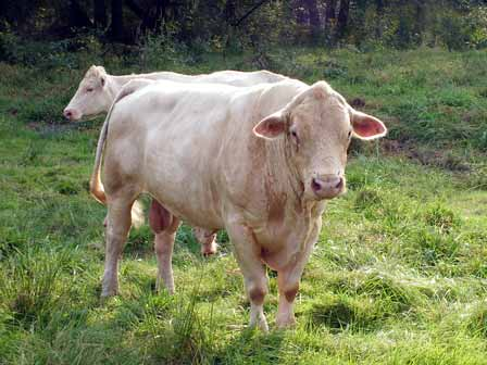 File:Cow bull.jpg