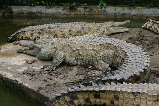 File:800px-Croc inter.jpg