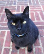 Angry-black-cat