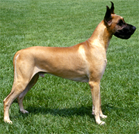 File:Great Dane.jpg