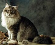 Siberian-forest-cat-3