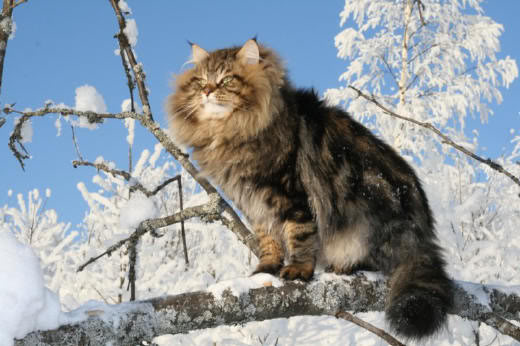 File:Siberian-forest-cat-1.jpg