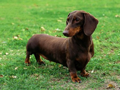 File:Dachshund Animal Central wiki.jpg