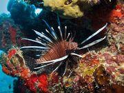 Toxic04-lionfish 13493 600x450