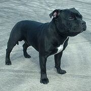 220px-Staffordshire Bull Terrier 600