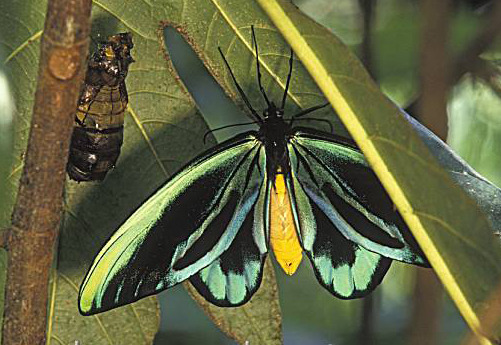 File:Birdwing Butterfly.jpg