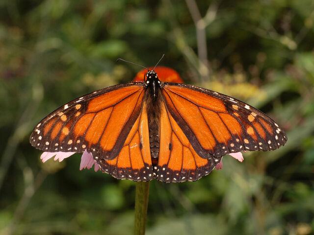 File:Monarchreal!.jpg