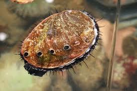 File:Abalone.jpg