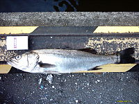 File:200px-Sea Bass.jpg