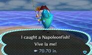 HNI 0094 Napoleonfish
