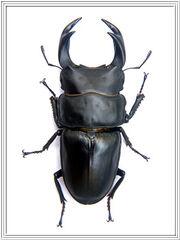 PICT0014 giant beetle ookuwagata