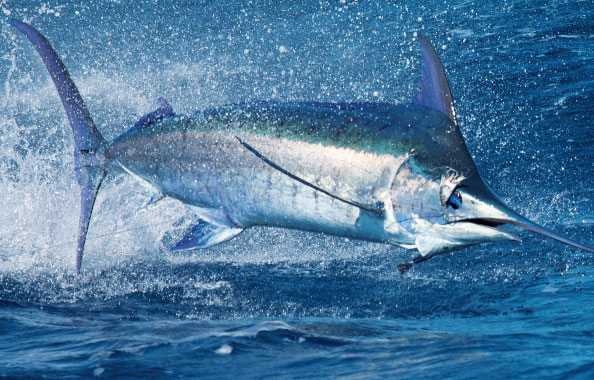 File:Samana-blue-marlin.jpg