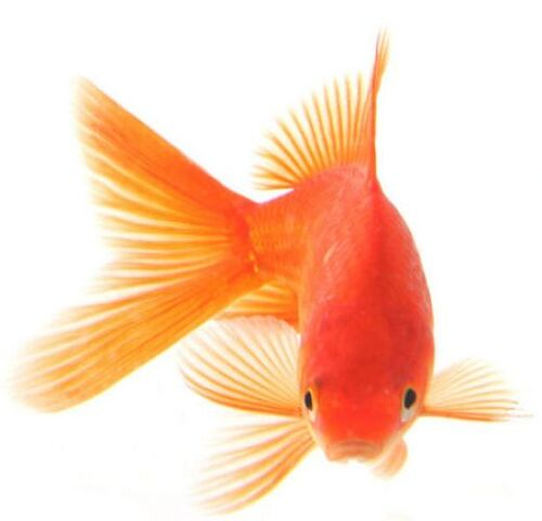 File:Goldfish2.jpg
