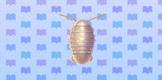 File:Isopod.jpg