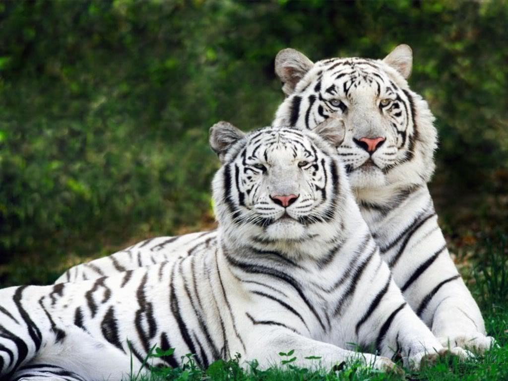 Tigre de bengala wiki animales peligro de extincion for Bengala asia