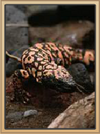 Coral Canyons Gila Monster