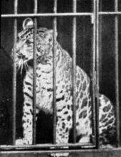 170px-Pumapard-1904