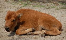 Bison bison calf