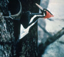 Ivory-billed Woodpecker