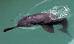 Ganges River Dolphin2