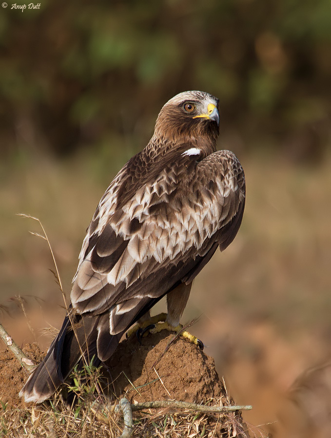 Booted Eagle | Animal Database | Fandom powered by Wikia