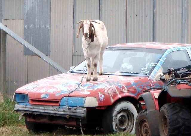 File:Goat on car.jpg