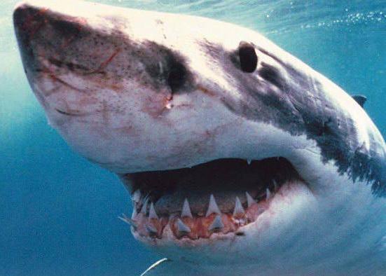 File:Shark5.jpg