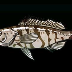 Harlequin Bass - Rarity: Rare, Size: Medium