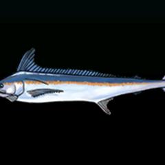 White Marlin - Rarity: Rare, Size: Large