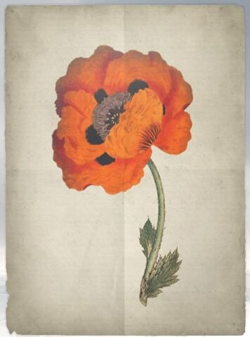 File:ACS DB Poppy.jpg