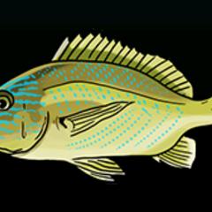 Bluestriped Grunt - Rarity: Common, Size: Small