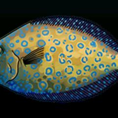 Peacock Flounder - Rarity: Rare, Size: Medium