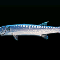 Barracuda - Rarity: Rare, Size: Medium