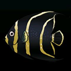 French Angelfish - Rarity: Rare, Size: Medium