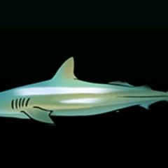 Dusky Shark - Rarity: Very Rare, Size: Large