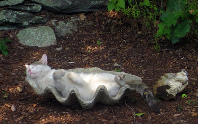 A white and gray cat sleeps in a giant clam shell placed in a garden.